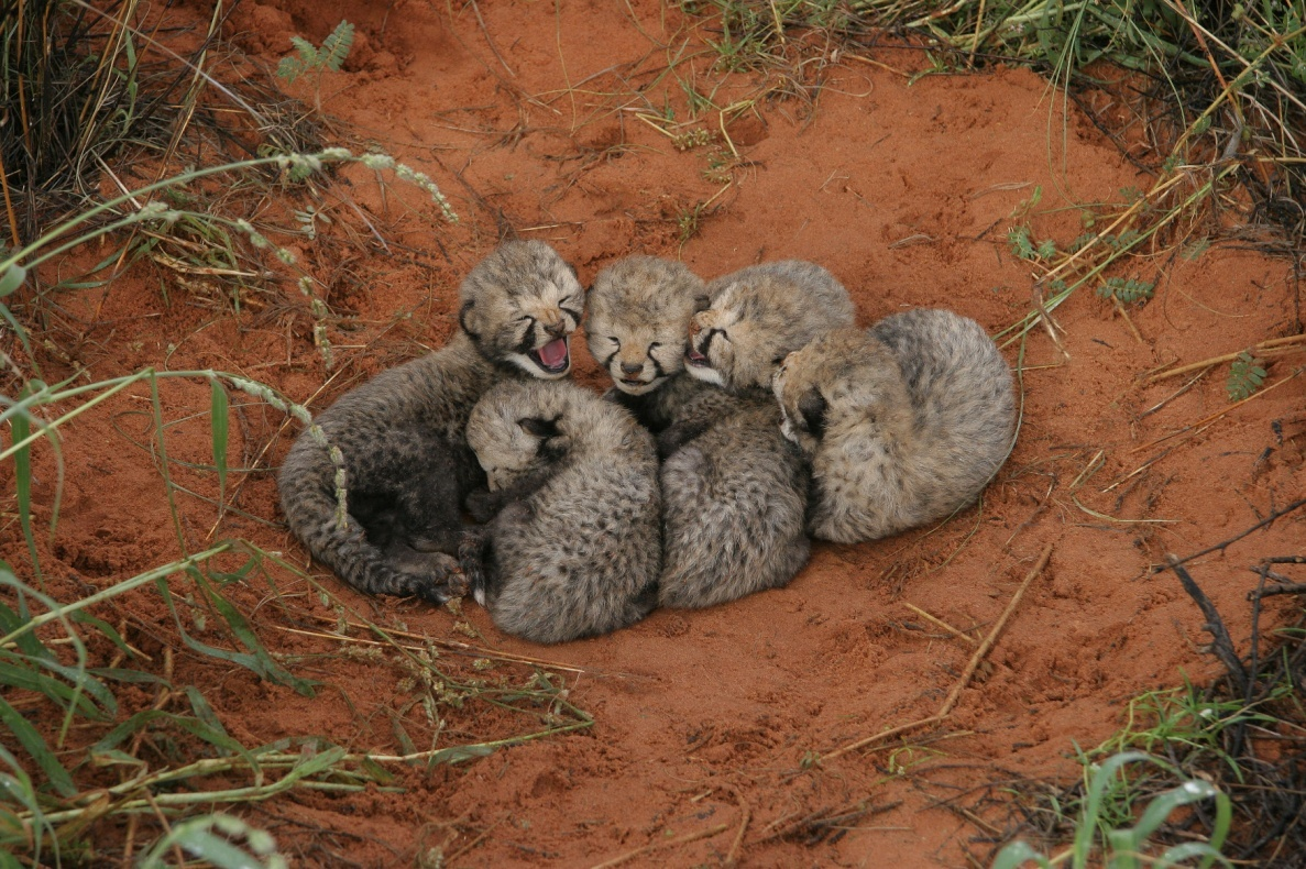 This is an image of cheetah cubs from kgalagadi transfrontier park