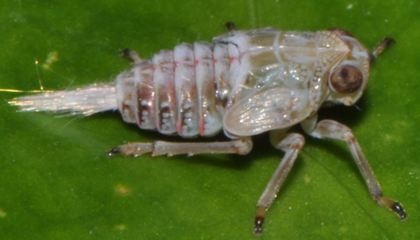 Photograph of an Issus nymph. Credit: Malcolm Burrows