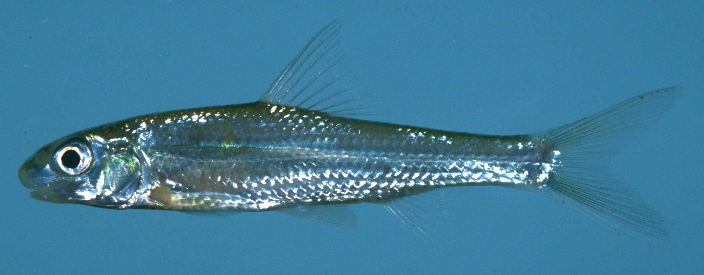 Drought river fragmentation forcing endangered fish out for Mississippi river fish