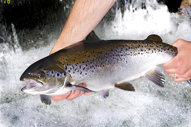 Farm-raised salmon retains healthy omega-3s when baked