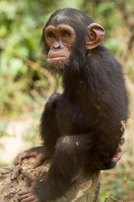 an analysis of the nature and history of the bonono chimpanzee Analysis of chimpanzee history based on an eastern chimpanzee, a bonobo c, et al (2008) analysis of chimpanzee history based on genome sequence alignments.