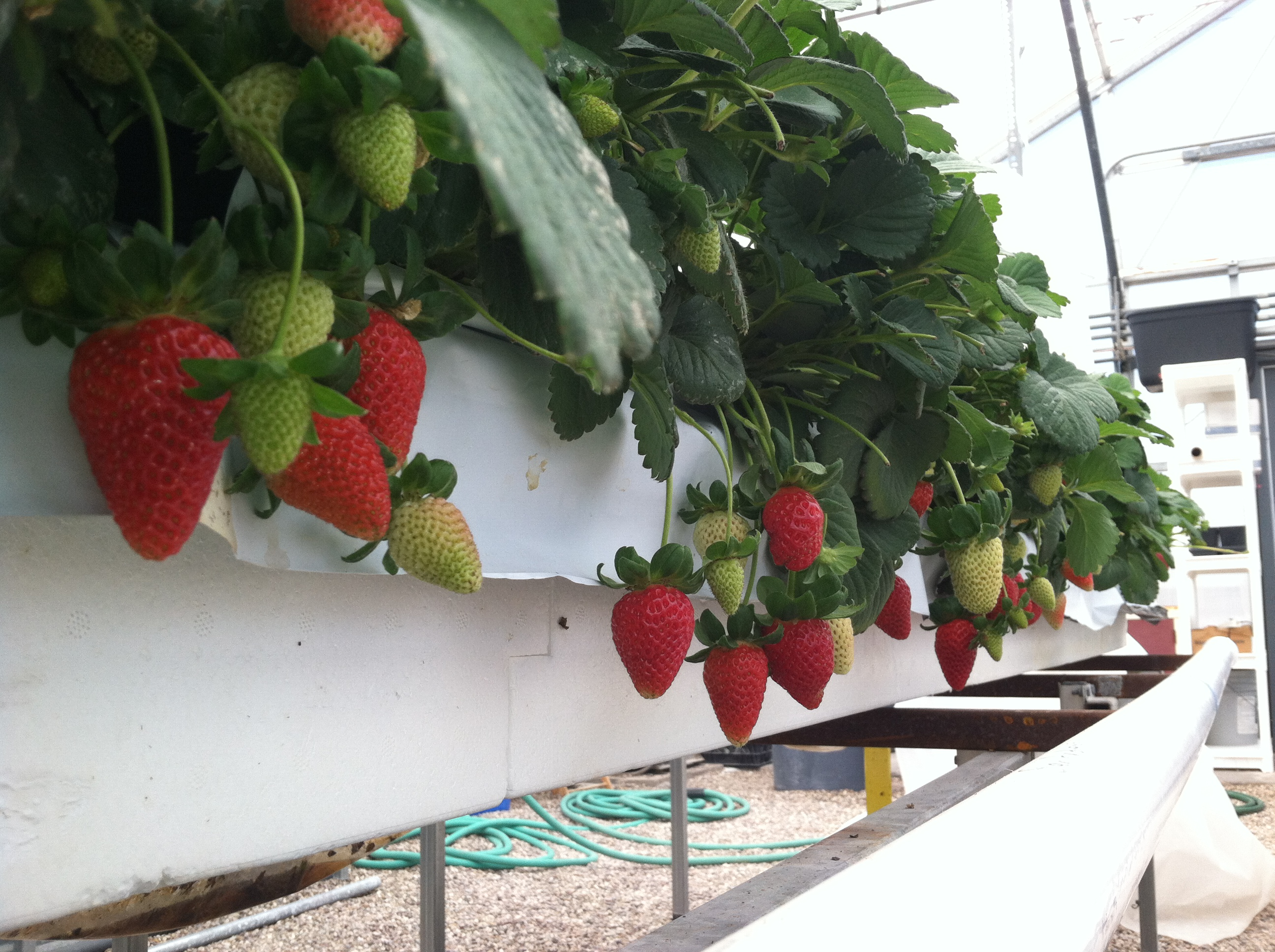Image result for Hydroponic Strawberries
