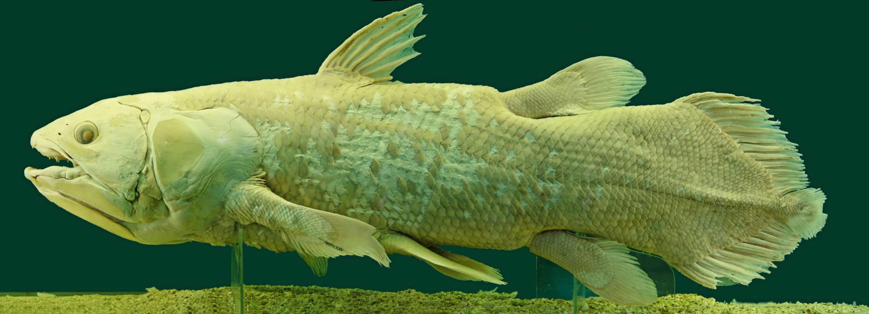 Coelacanth Museum Of Natural History