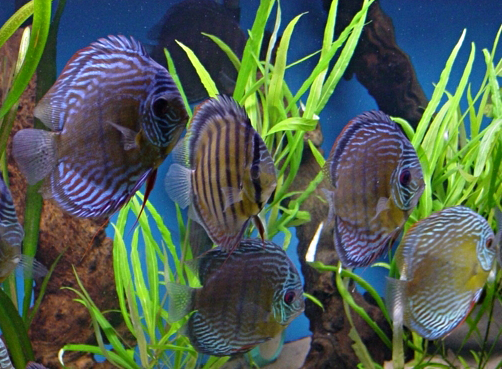 Ornamental fish industry faces increasing problems with for Aquarium fish diseases