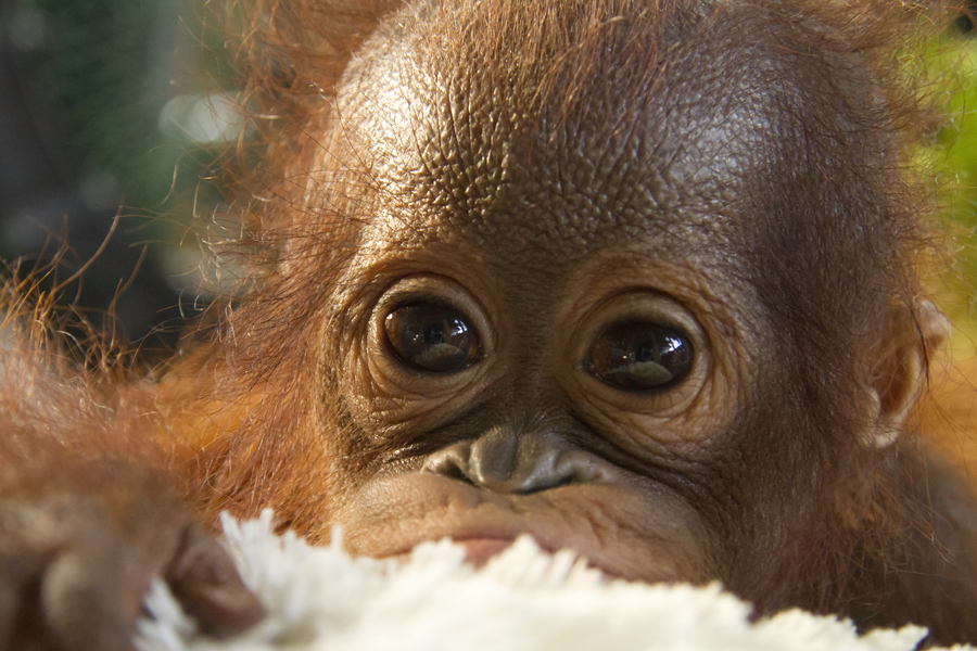 orangutan research paper Below is an essay on orangutan observations from anti essays, your source for research papers, essays, and term paper examples orangutan observations for the first primate observation i looked at the orangutans in captivity at the san diego zoo.