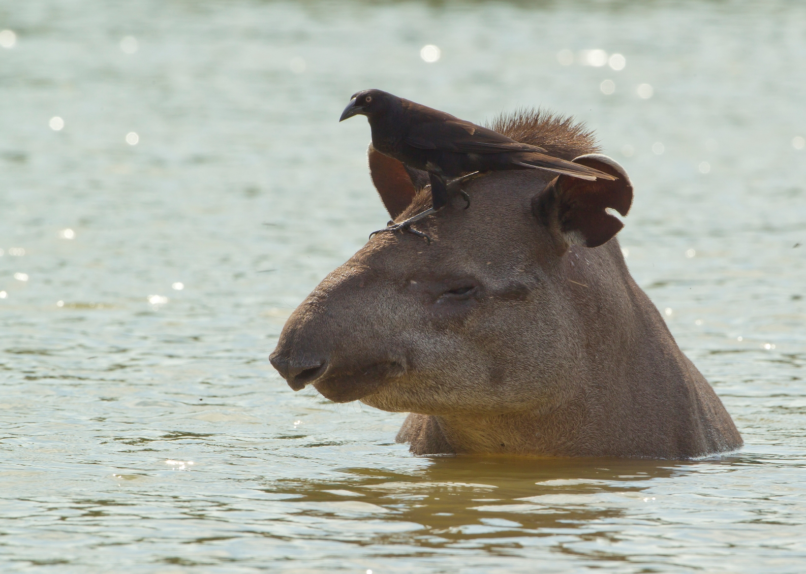 Paradise found for Latin America's largest land mammal