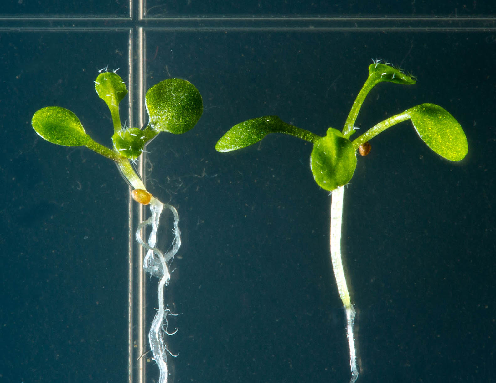 arabidopsis thaliana essay