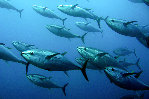 Scientist uses fukushima radiation to reveal swimming for Pacific ocean radiation fish