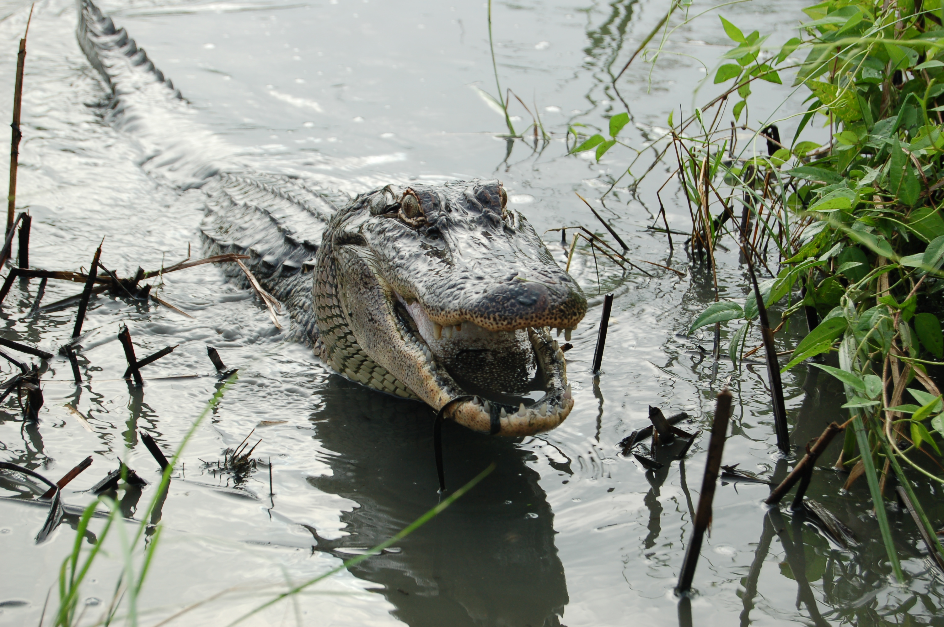 a study of alligators According to a new study, american alligators hunt and eat sharks the finding is surprising as alligators are known to be freshwater predators shark.