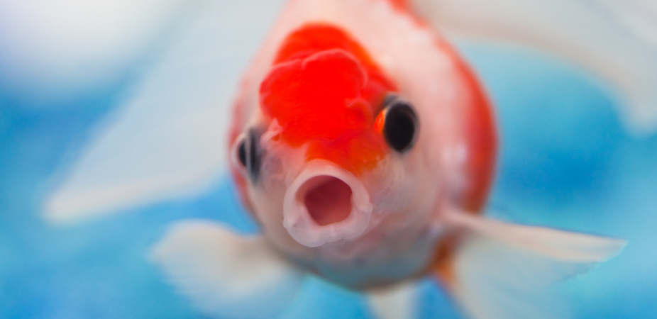 The nose knows rainbowfish embryos 39 sniff out 39 predators for Fish tank smells