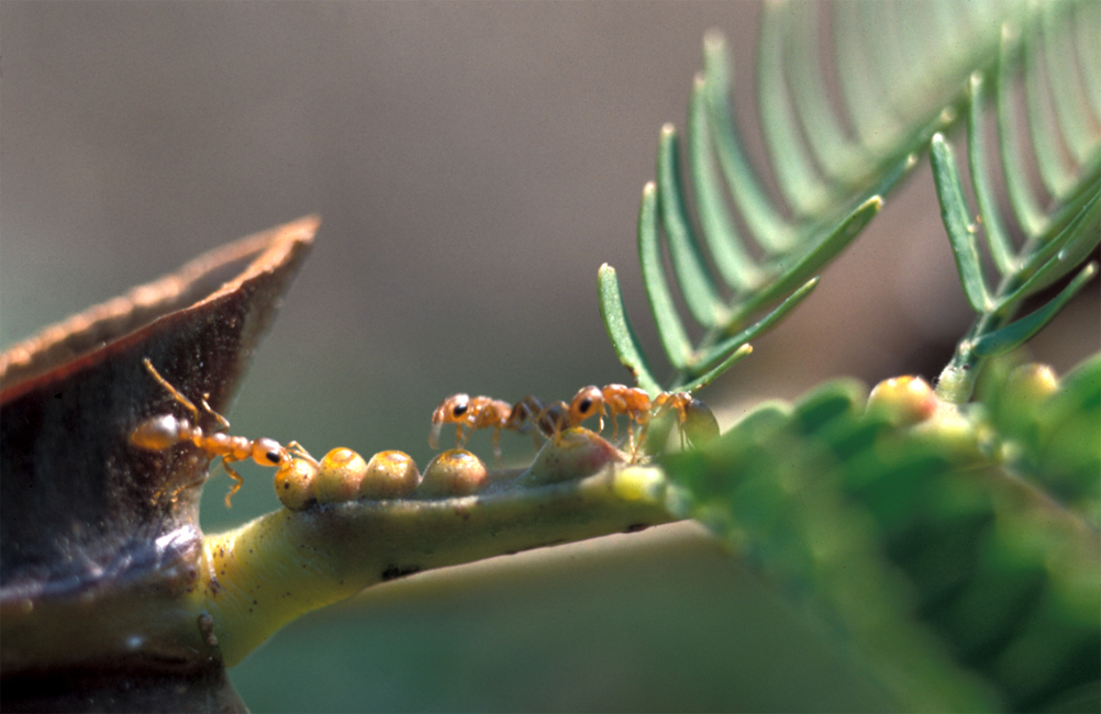 what symbiotic relationship is ants and acacia trees