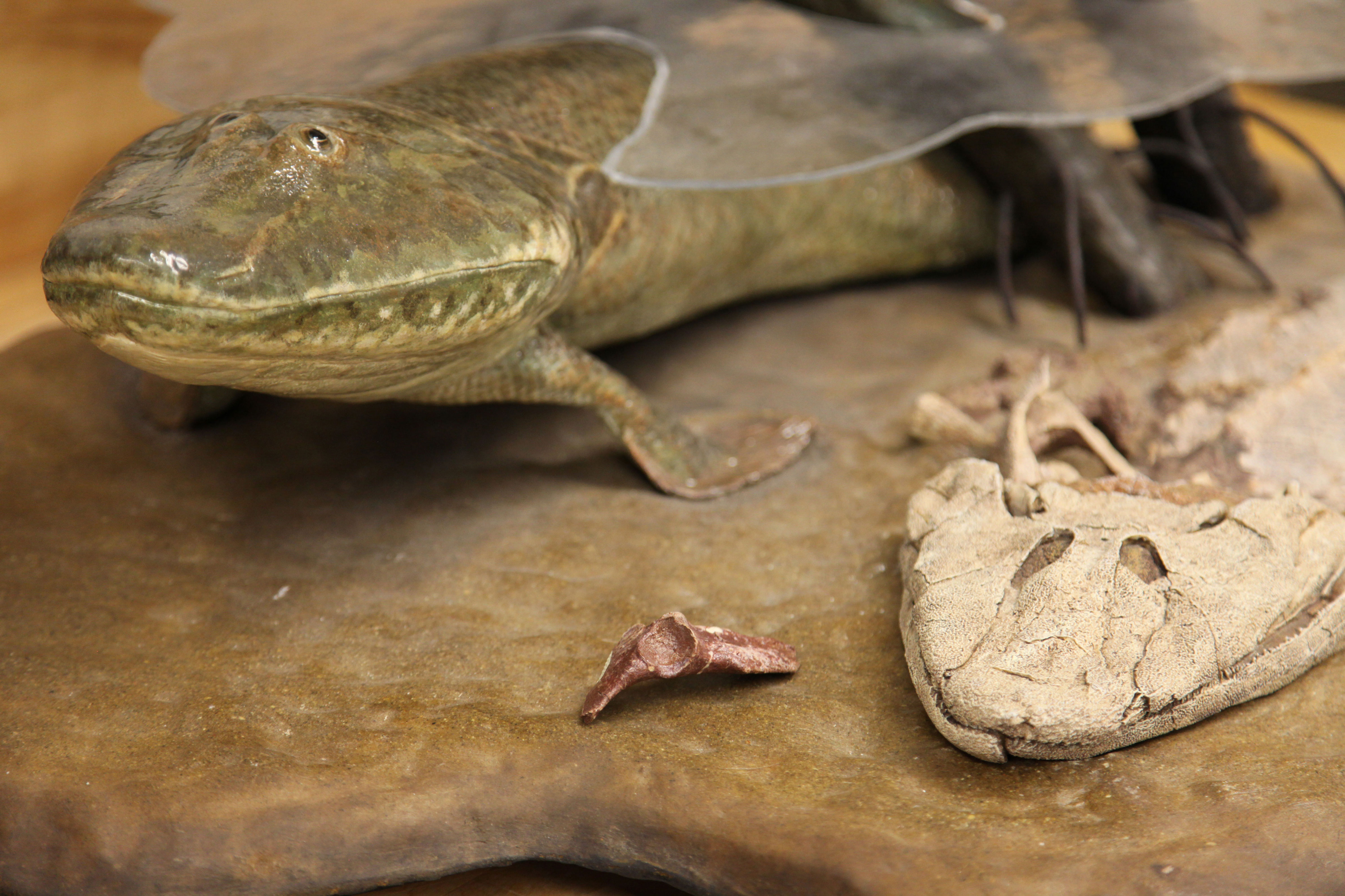 Tiktaalik roseae fossil analysis provides new details on for Did humans evolve from fish