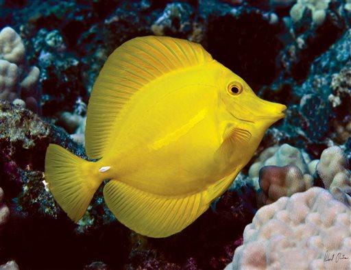 Hawaii at center of battle over aquarium fish for Yellow tang fish