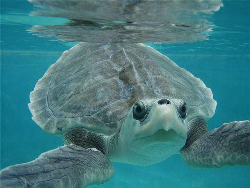 kemp s ridley sea turtle Definition of kemp's ridley sea turtle – our online dictionary has kemp's ridley sea turtle information from beacham's guide to the.