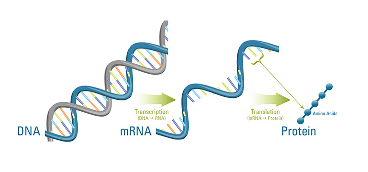 The role of rna in protein synthesis