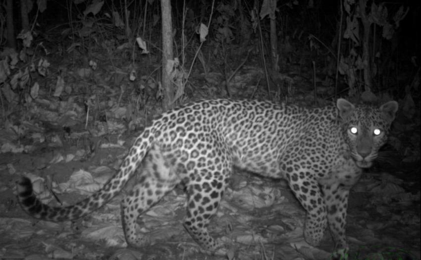 conservation tigers essay