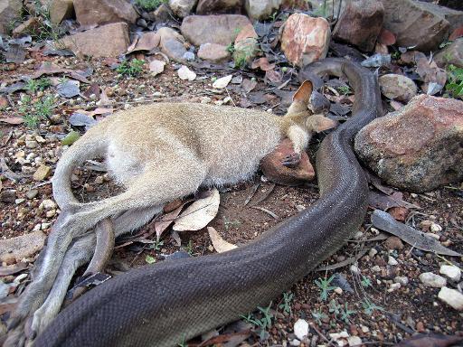 python devours wallaby in giant meal australian ranger
