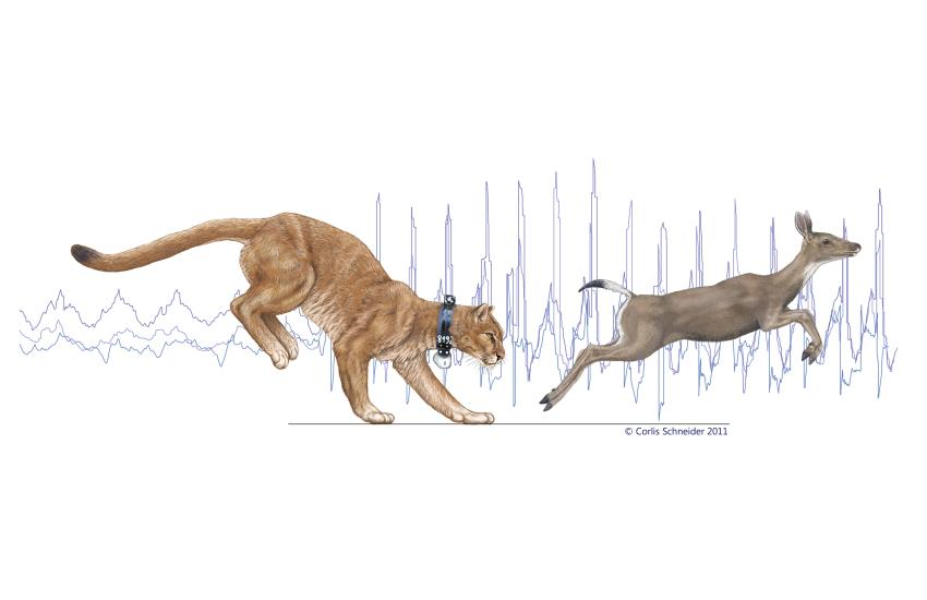Study of mountain lion energetics shows the power of the ...