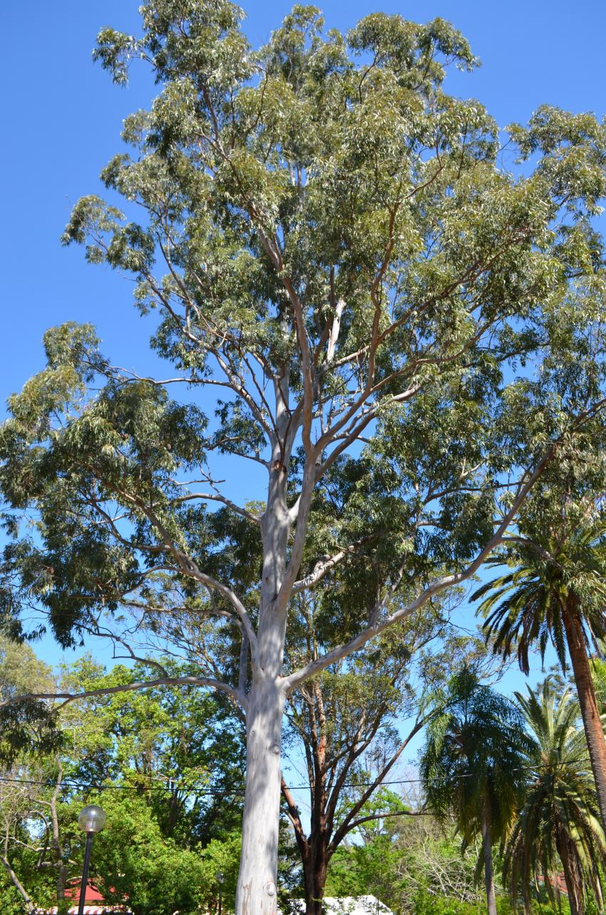 eucalyptus research papers The effect of eucalypts camaldulensis on soil properties and fertility 15, and 20m from the eucalyptus the effect of eucalypts camaldulensis on soil.