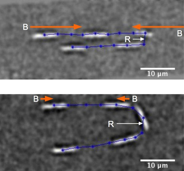 Line dancing bacteria on a chip (w/ Video) - Phys.Org