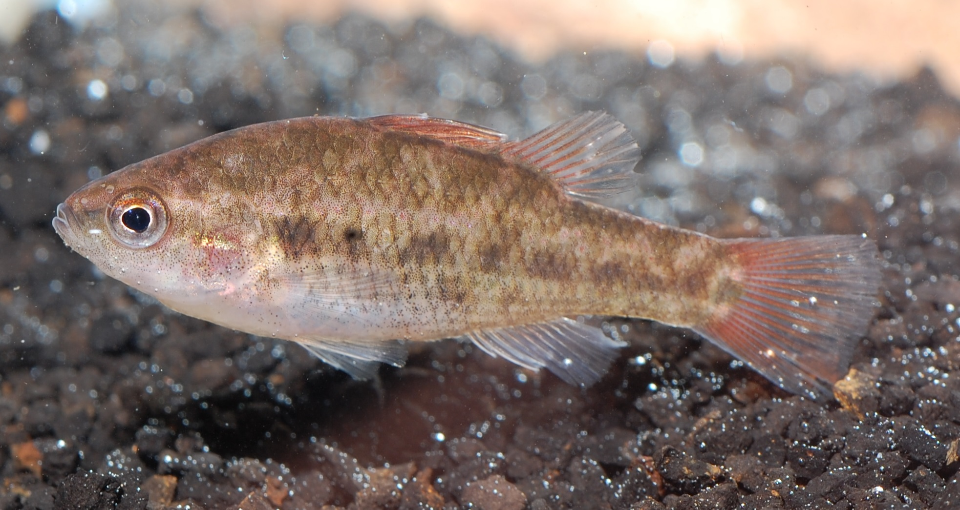 New Populations Of Endangered Fresh Water Fish Found