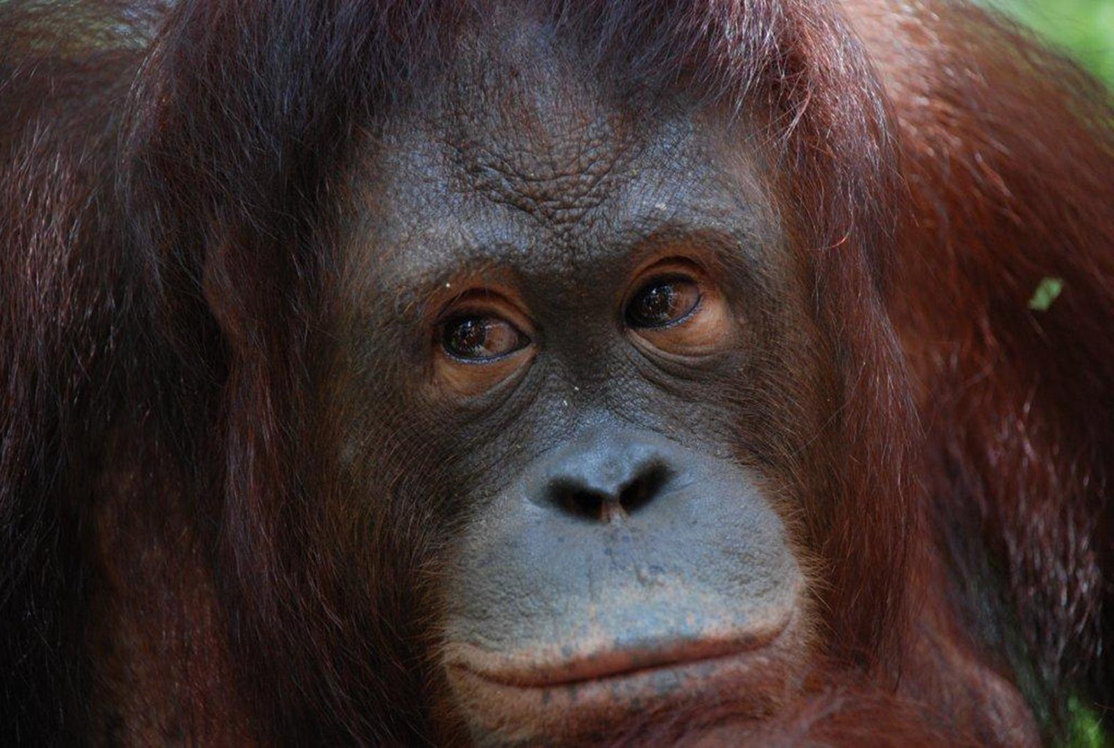 Orangutan-human hentai nude images
