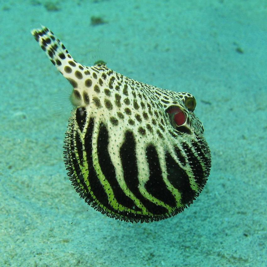 how to make a puffer fish puff up