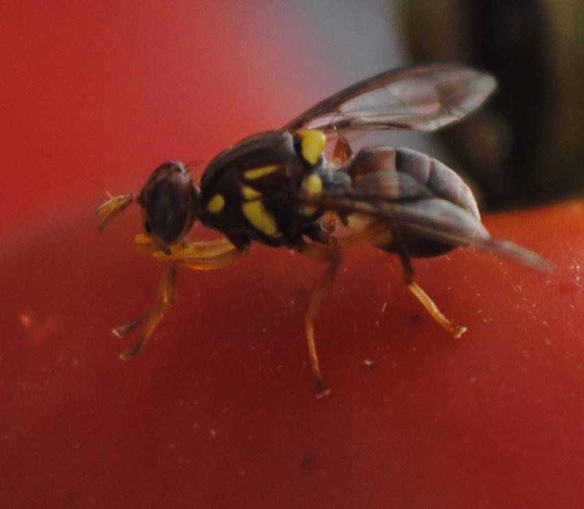 New research reveals clock ticking for fruit flies