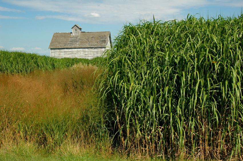 converting switchgrass to biofuel essay