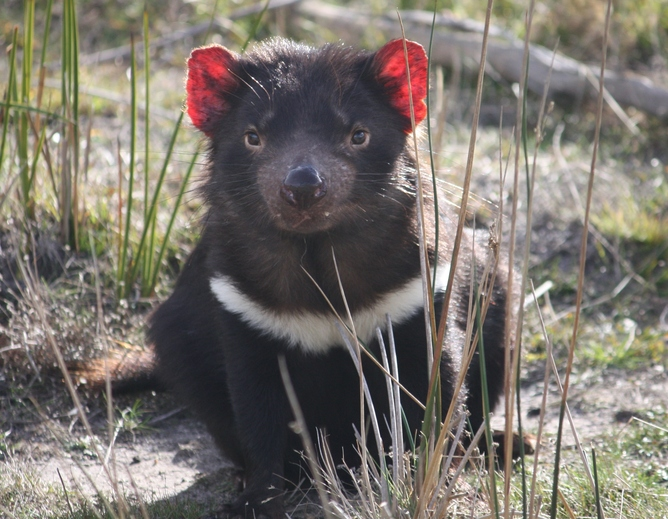 Tasmanian devils survived two big falls in numbers but now need help - Tasmanian devil pics ...