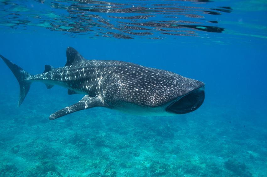largest whale shark - photo #35