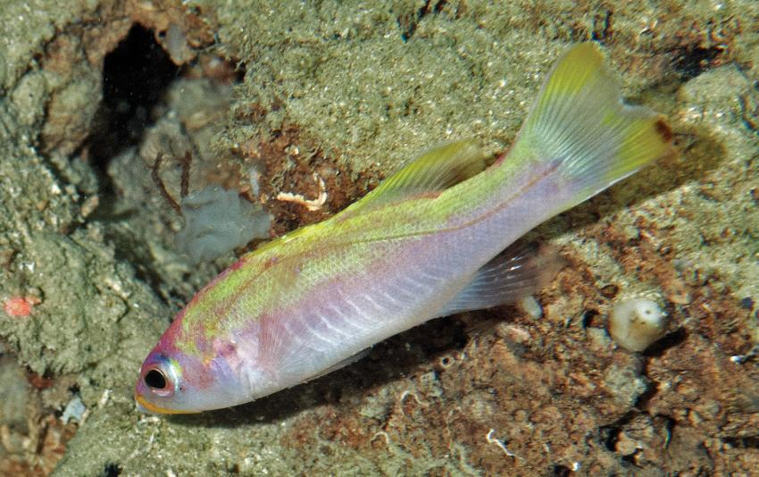 The spot tail golden bass a new fish species from deep for New fish discovered