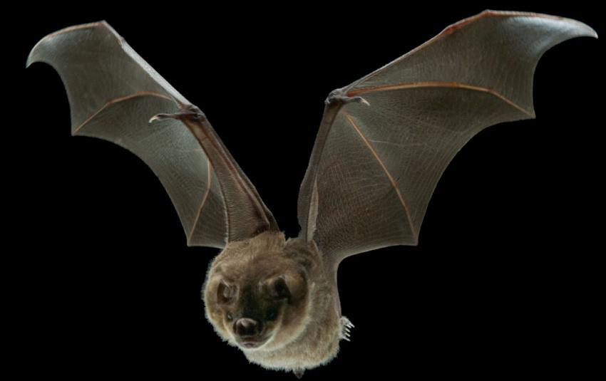 tiny muscles help bats finetune flight stiffen wing skin