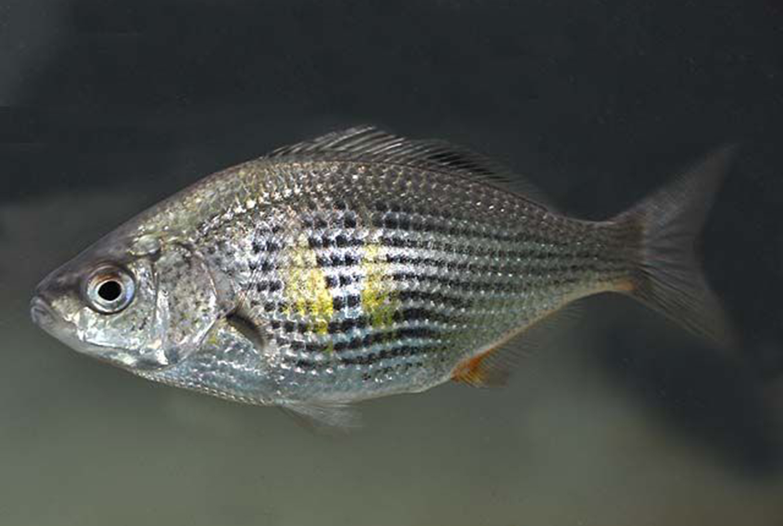 Related Keywords Amp Suggestions For Shiner Surfperch