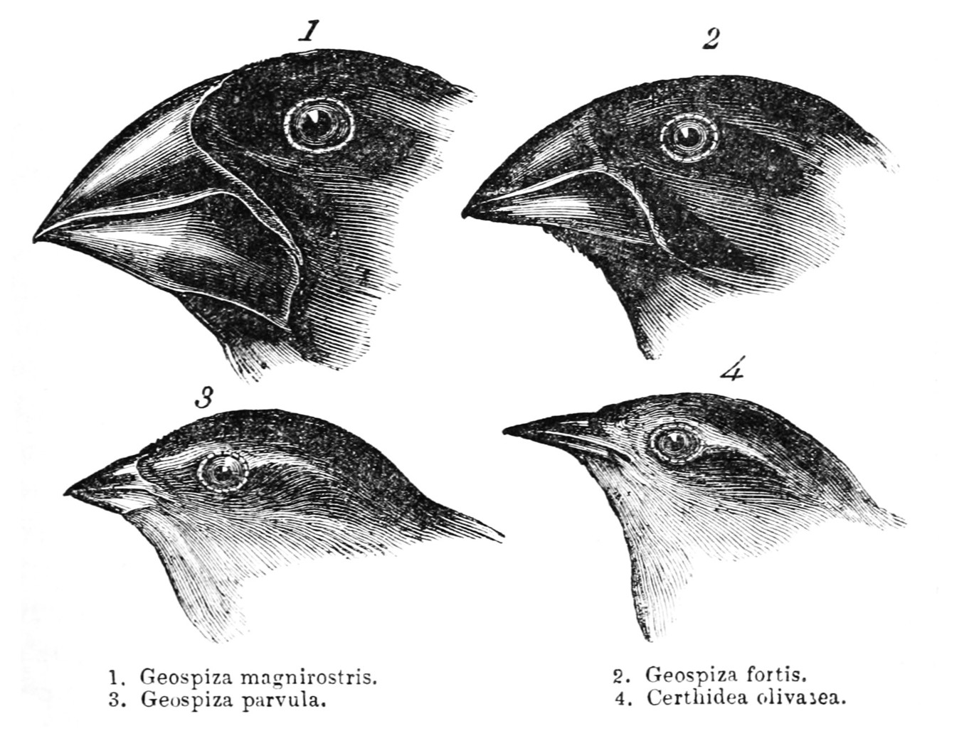 Charles Darwin Theory Of Evolution Finches Darwin s finches highlight the