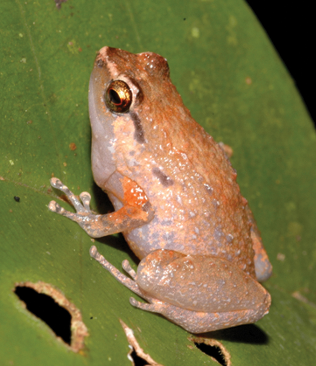 Night calls reveal two new rainforest arboreal frog spe…