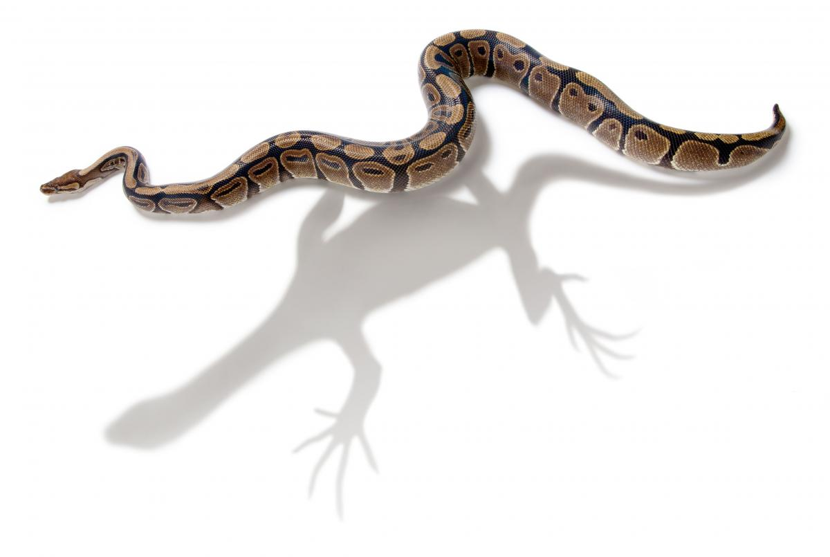 the evolution of snakes from lizards Live bearing, or viviparity, has evolved over 100 times among squamate reptiles (lizards and snakes) luke, c 1986 convergent evolution of lizard toe fringes.