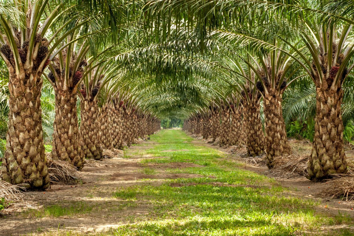 What's behind million-dollar crop failures in oil palm ...