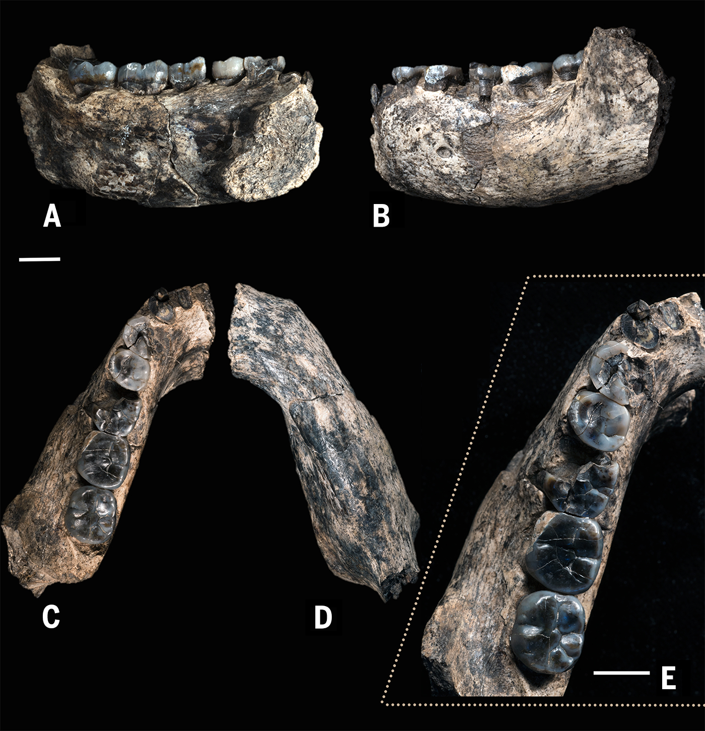 dating fossil teeth Sample location experimental five fossil equid teeth (equus altidens) were collected from two distinct areas of venta micena locality, hereafter sites a and b for the dating analyses, sampling focused on the vestibular part (fig 5.