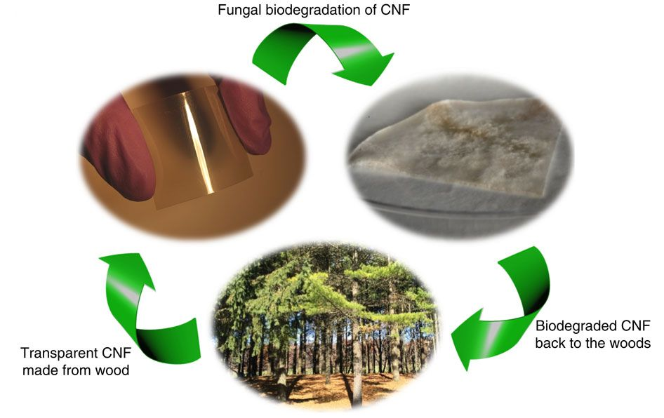 biodegradation research papers Lignin biodegradation and ligninolytic enzyme 27:1457–1468 doi 101007/s11274-010-0598-x original paper lignin biodegradation find new research papers.