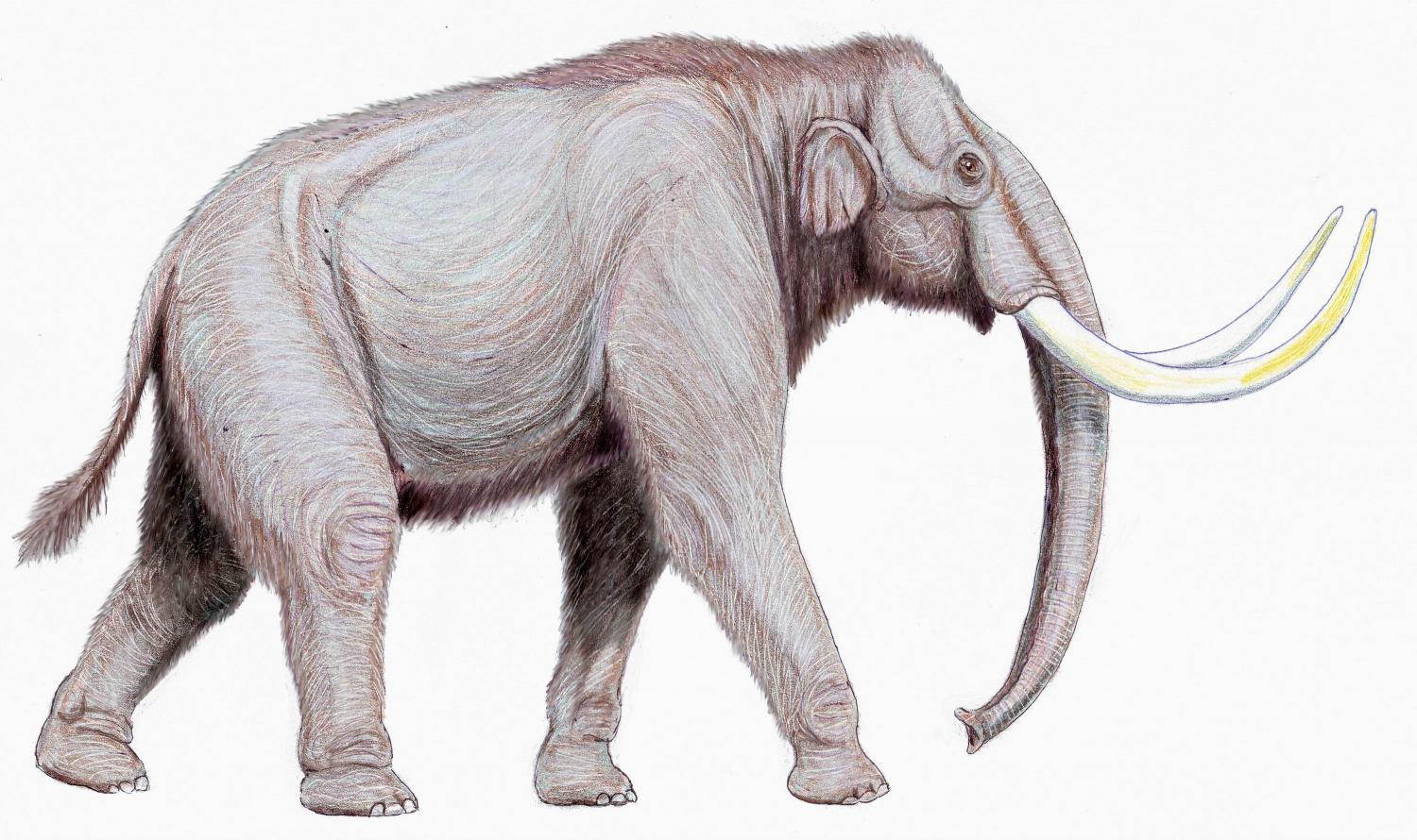 Closer look at teeth suggests Columbian mammoth was ...