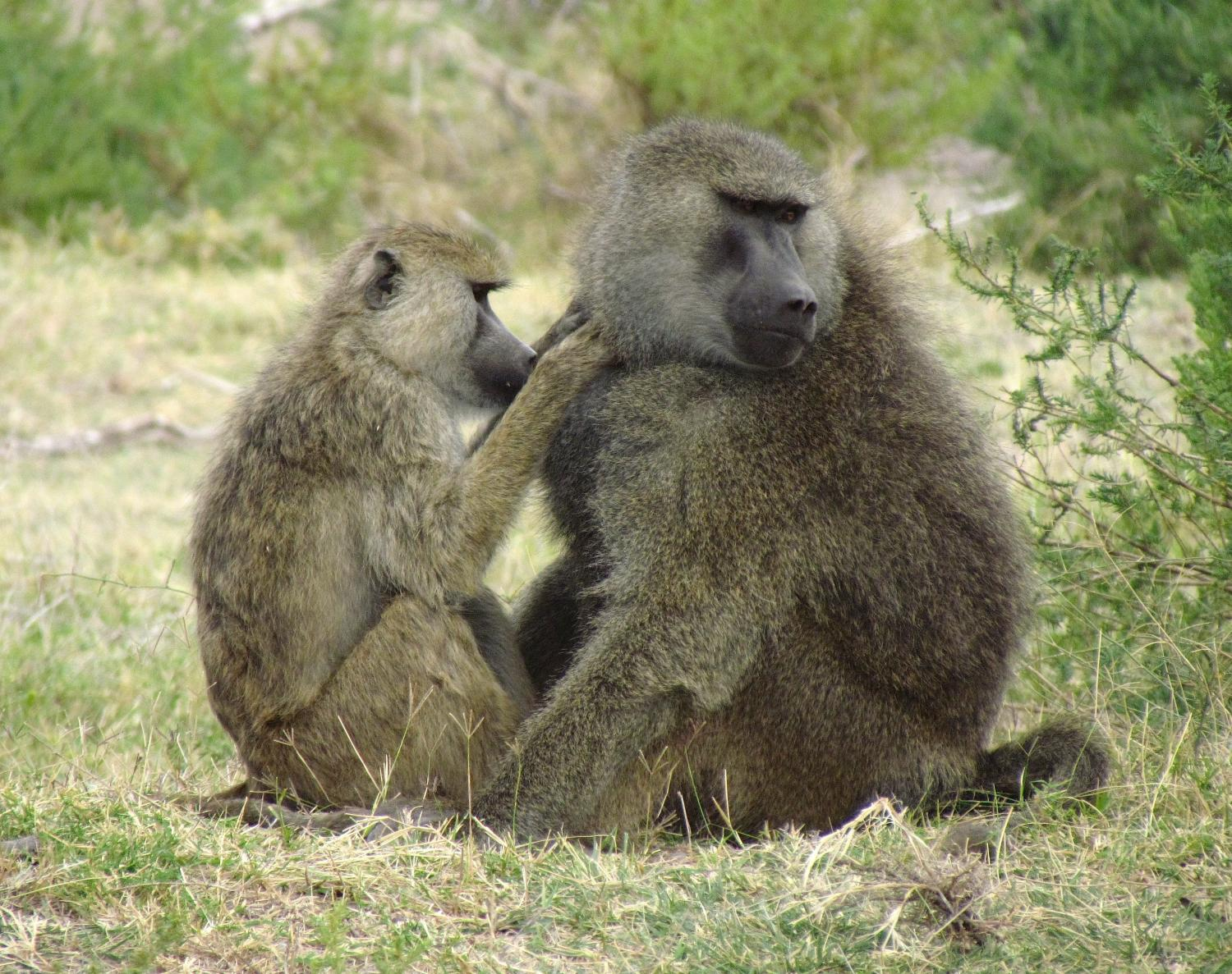 Baboons take turns grooming each other to make friends and cement