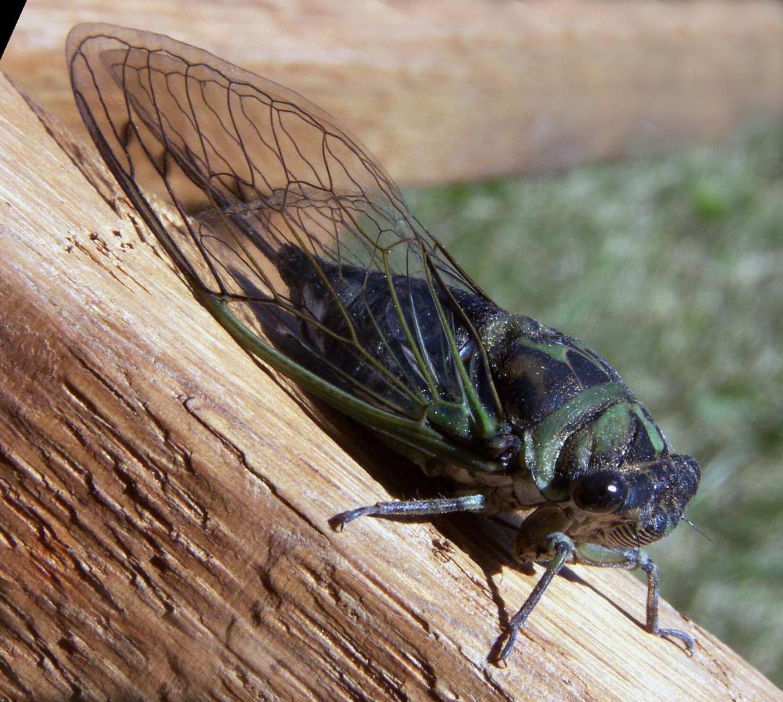 cicada - photo #1