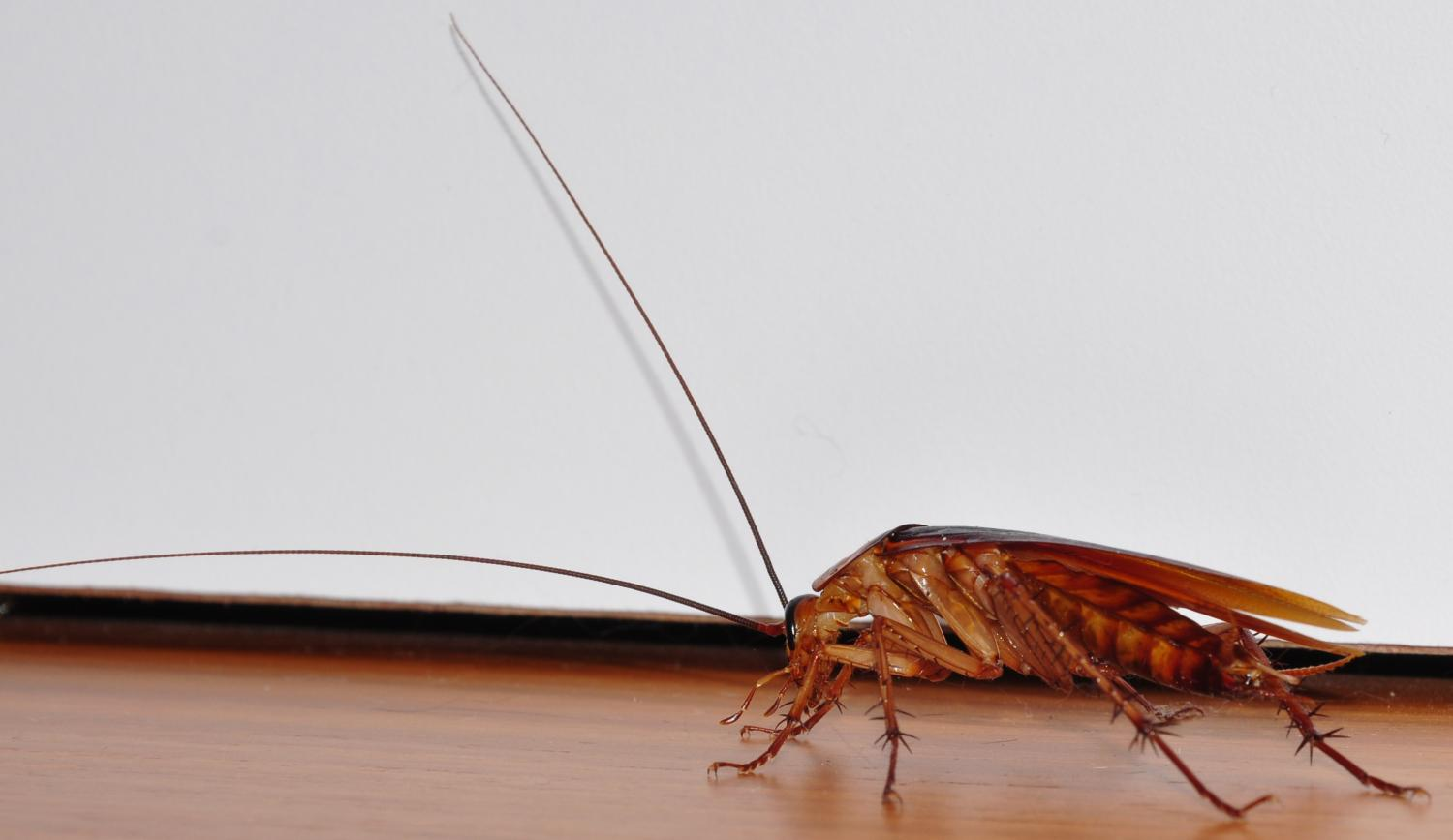 a study on cockroaches and their survival However studies in presocial insects suggest that kin discrimination during   cockroach nauphoeta cinerea, a model species for research in sexual  was not  only affected by their survival but also by their kinship with males.