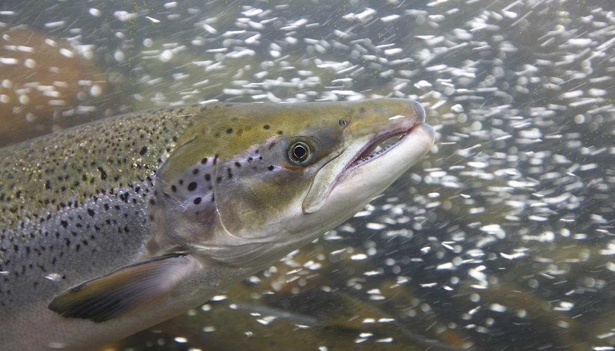 Fish farming gobbles up phosphorus for What is fish farming