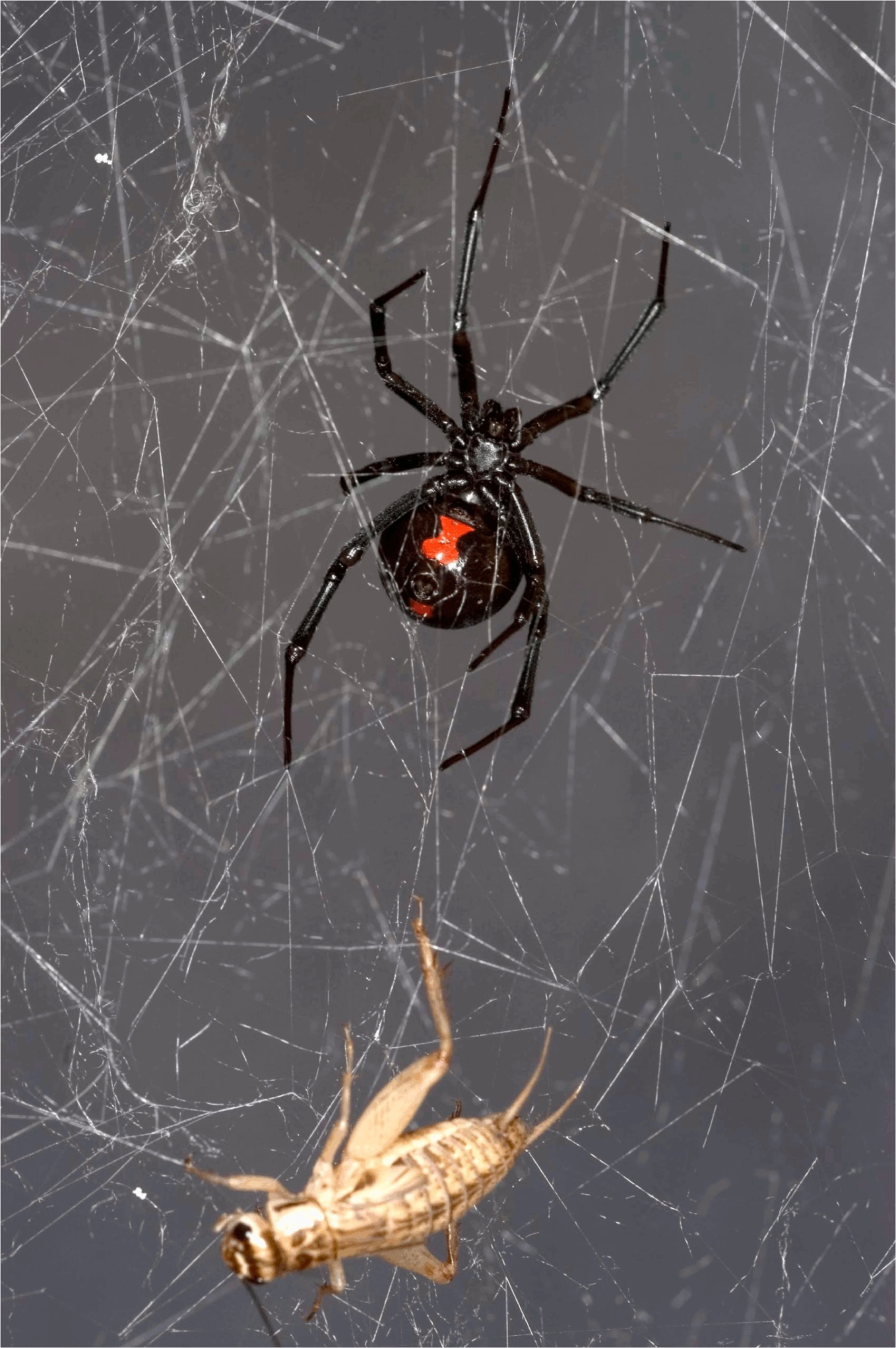 Online Architect Insect Dna Extracted Sequenced From Black Widow Spider Web