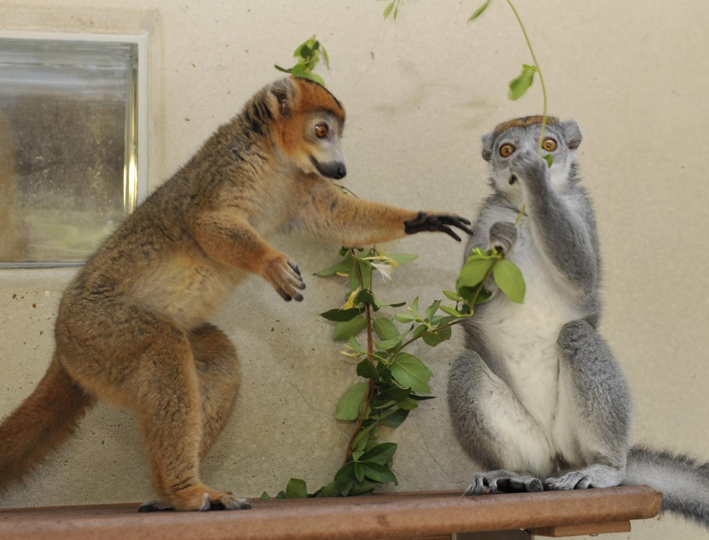 Male hormones help lemur females rule