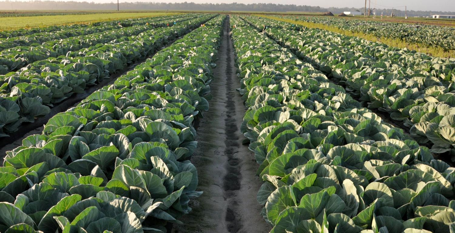 Plasticulture System Offers Alternative For Cabbage Producers