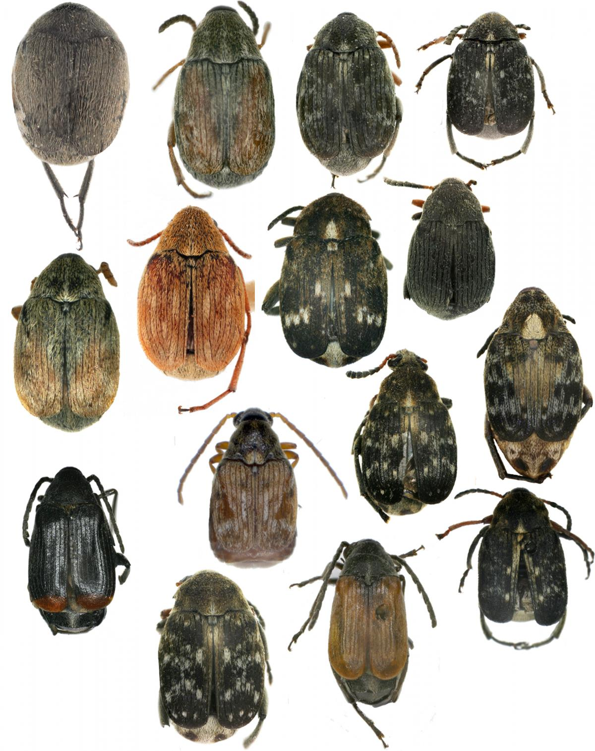 diversification in beetles Species delimitation and diversification history in rhinoceros beetles: how many and why so many species.