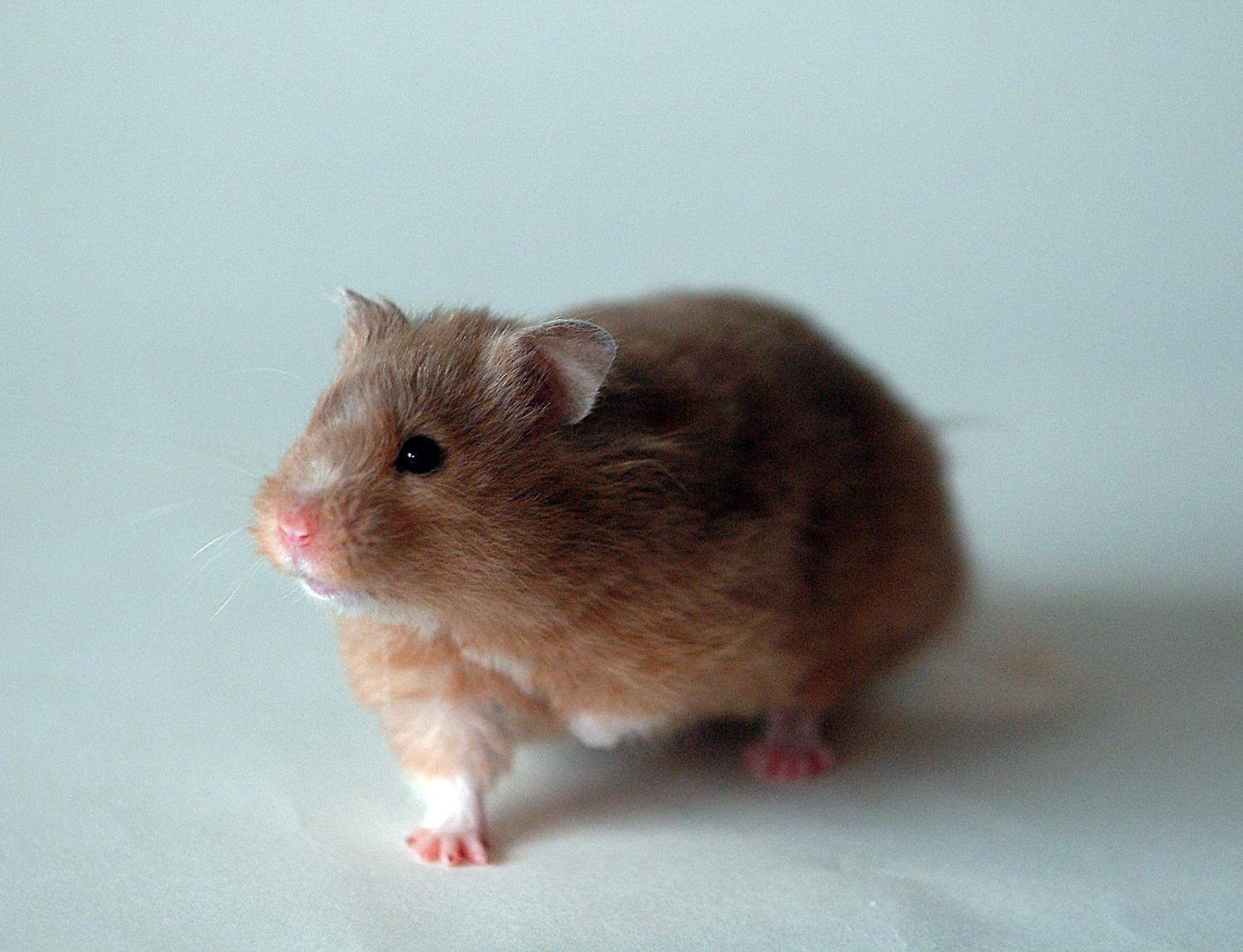 hamster research paper